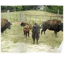Buffalo Bison Heard Poster