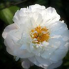 Peony in the Shadows by Rosanne Jordan