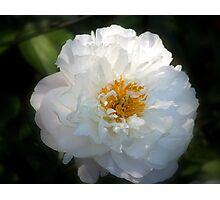 Peony in the Shadows Photographic Print