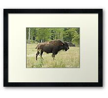 Buffalo Bison Framed Print