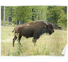 Buffalo Bison Poster