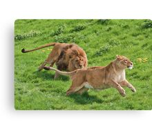Lion Chase Canvas Print