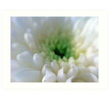White Chrysanthemum Flower. Art Print