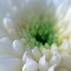 White Chrysanthemum Flower. by David Alexander Elder
