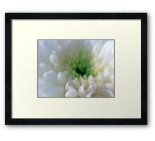 White Chrysanthemum Flower. Framed Print