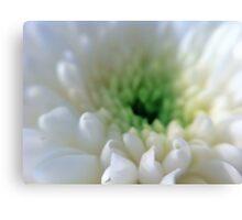 White Chrysanthemum Flower. Canvas Print