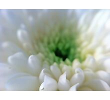 White Chrysanthemum Flower. Photographic Print
