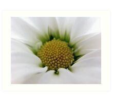 White Daisy Flower Art Print