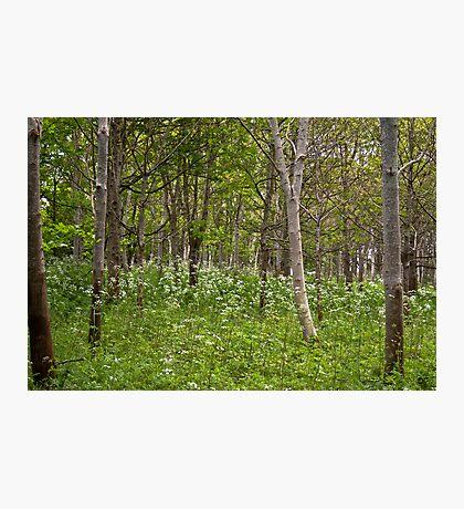 Through the trees.. Photographic Print