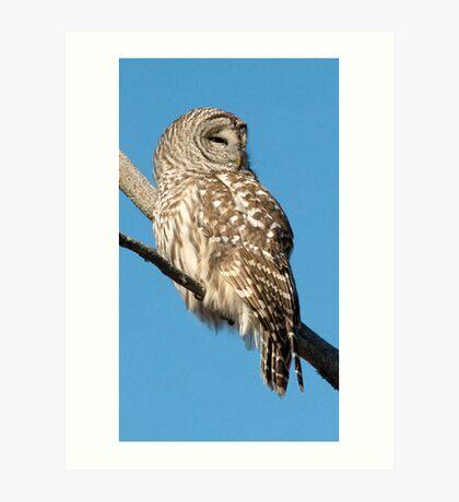 Barred Owl in the Winter Sun Art Print
