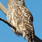 Barred Owl in the Winter Sun by Bryan Shane