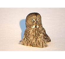 Great Grey Owl Hunting in the Snow Photographic Print
