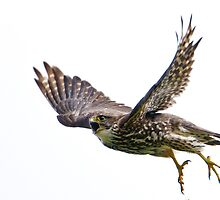 Hungry Merlin in Flight by Bryan Shane