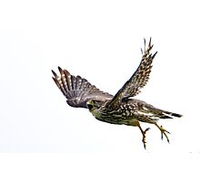 Hungry Merlin in Flight Photographic Print