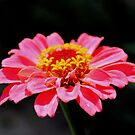 Lonely Zinnia by aprilann