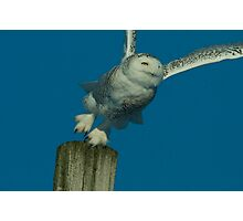 Portrait of Snowy Owl Hunting from a Perch Photographic Print