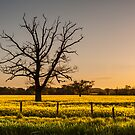 Ruined tree rising above yellow fields by mattcattell