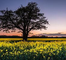 Brassica napus at Sunset by mattcattell