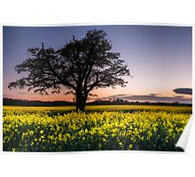 Brassica napus at Sunset Poster