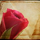 The red Rose by Aase