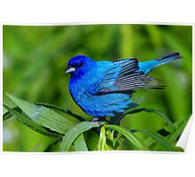 Indigo Bunting Ready For Take Off Poster