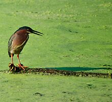 Green Heron by Diego  Re
