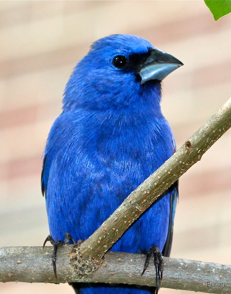 Blue Grosbeak II by Farley