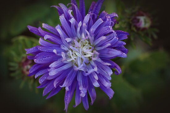 Aster Blue by Clare Colins