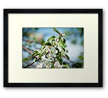 Apple Blossom 1 Framed Print
