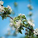 Apple Blossom 2 by Jacinthe Brault