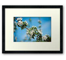 Apple Blossom 2 Framed Print