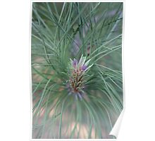 New Growth Pine Poster