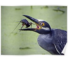 Yellow-Crowned Night-Heron & Crawfish  Poster