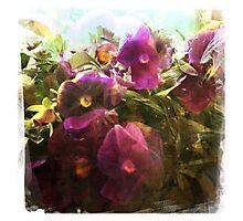 Very Viola Photographic Print