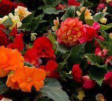 Begonia garden by Halobrianna
