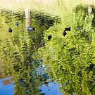 black ducks swimming by Anne Scantlebury