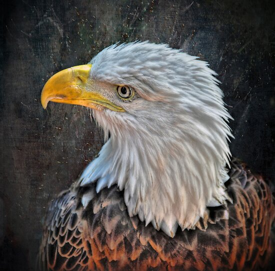American Bald Eagle by venny