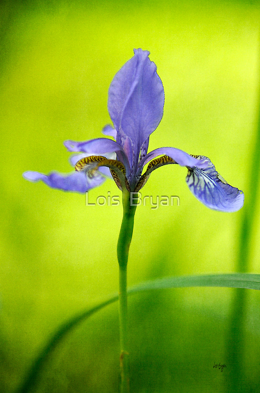 Blue Japanese iris by Lois  Bryan