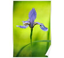 Blue Japanese iris Poster