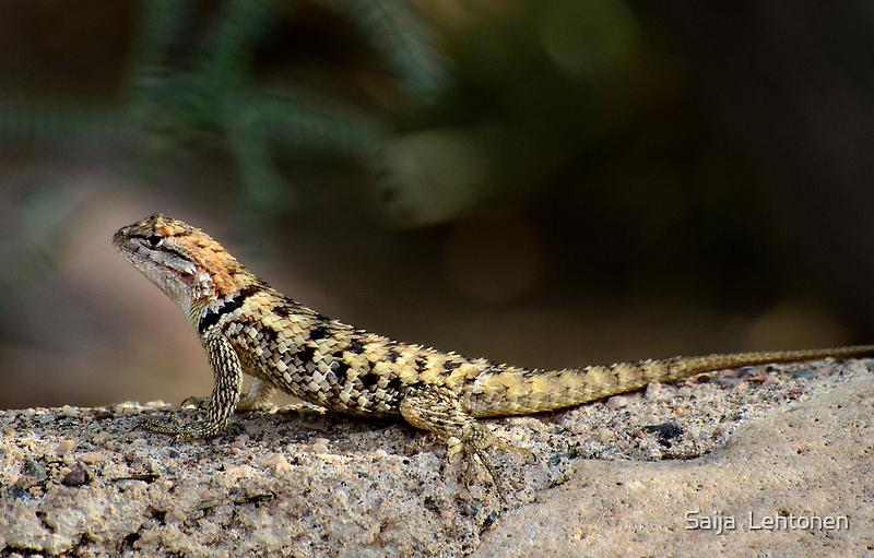 Female Desert Spiny Lizard  by Saija  Lehtonen