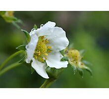 Strawberry Blossom Photographic Print