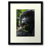 Surprised at Lunch!! Juvenile Mountain Gorilla. Framed Print