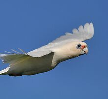 Little Corrella in Flight by Glen  Robinson