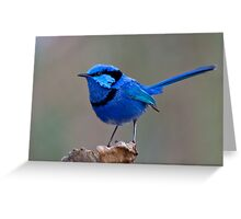Splendid Blue Wren Greeting Card