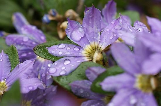 Fairy Fan-flower by marens