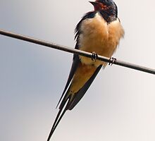 Swallow by Margaret S Sweeny