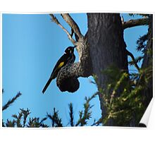 New Holland Honeyeater - Western Australia Poster