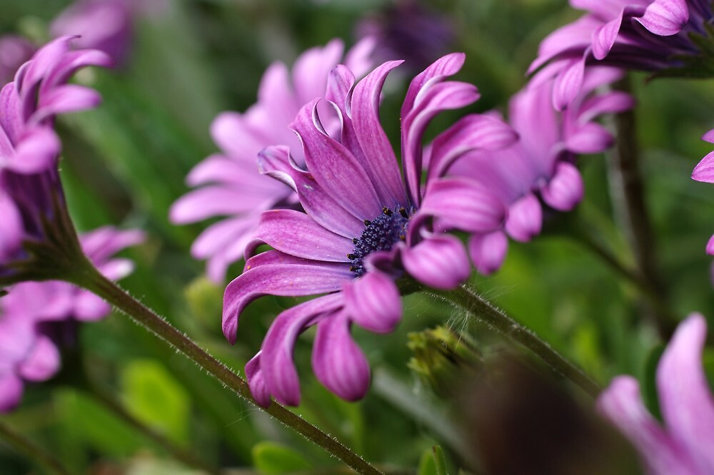 African Daisies by marens