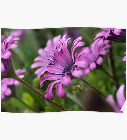 African Daisies Poster