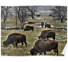 Grazing Buffalo in the Snow Poster